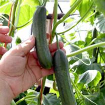 Cucumber Seeds - F1 Baby