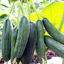 Cucumber Grafted Plants - Mini Star