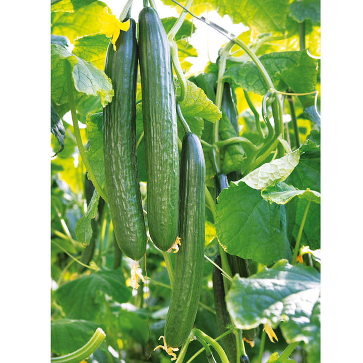 Cucumber Seeds - F1 Greenfit