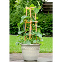 Cucumber Patio Veg Plants - Patio Snacker