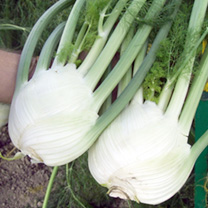 A tasty high quality European bulb fennel producing large, rounded bulbs with a crisp texture and delicious aniseed flavour. Great for grilling, bakin