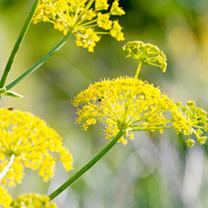 Wild Fennel Pollen Seeds