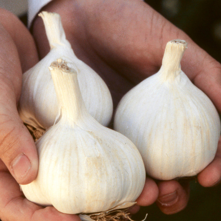 Garlic Bulbs (Spring) - Printanor