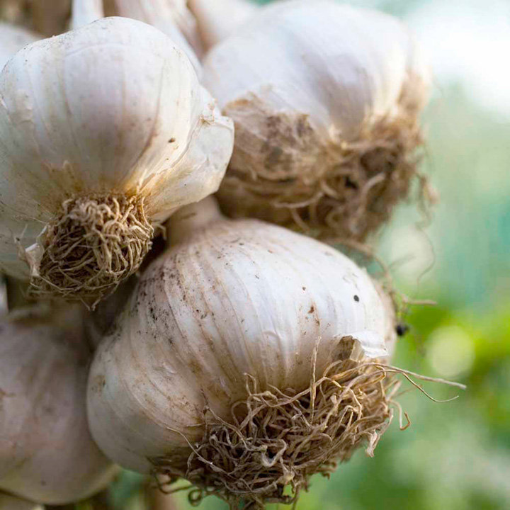 Garlic (Softneck) Bulbs - Cledor (Autumn)