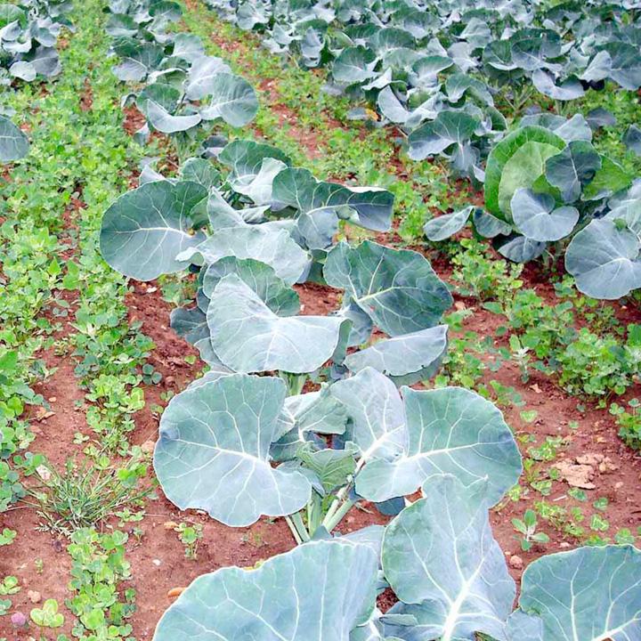 Green Manure Seeds - Intercrop Mix
