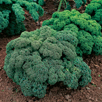 Kale Seeds - Mix