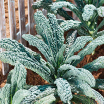 Keep Cropping Kale Plants - Black Magic
