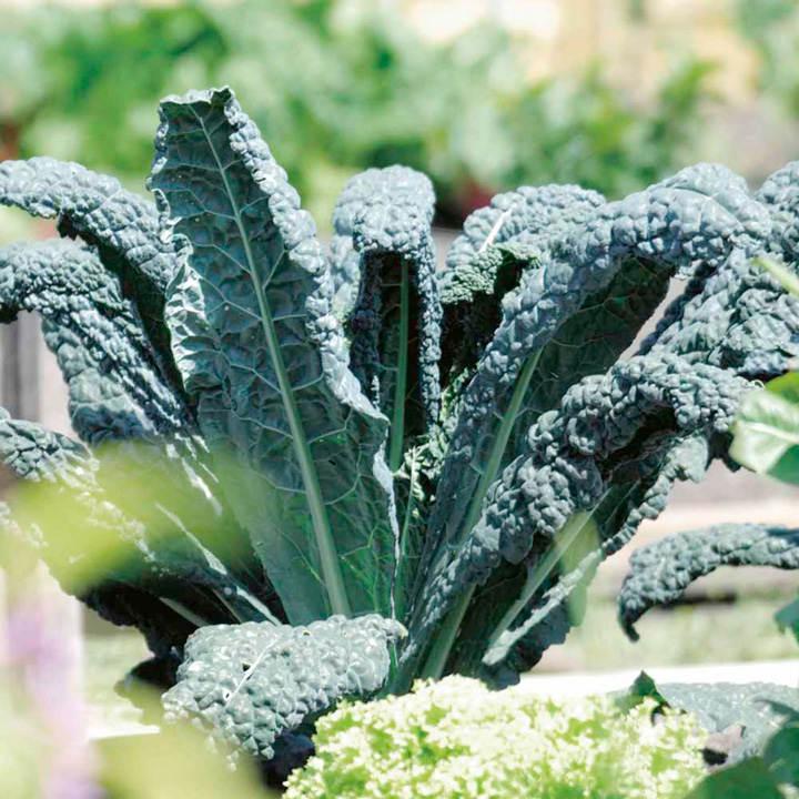 Kale (Organic) Seeds - Nero Di Toscano