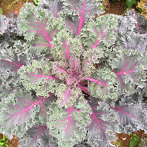 Kale Plants - Midnight Sun