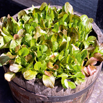 Lettuce Seeds - Cos Lettuce Mix