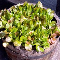 Lettuce Seeds - Cos Lettuce Mix