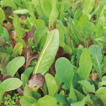 Salad Leaves Seeds - Mild and Sweet