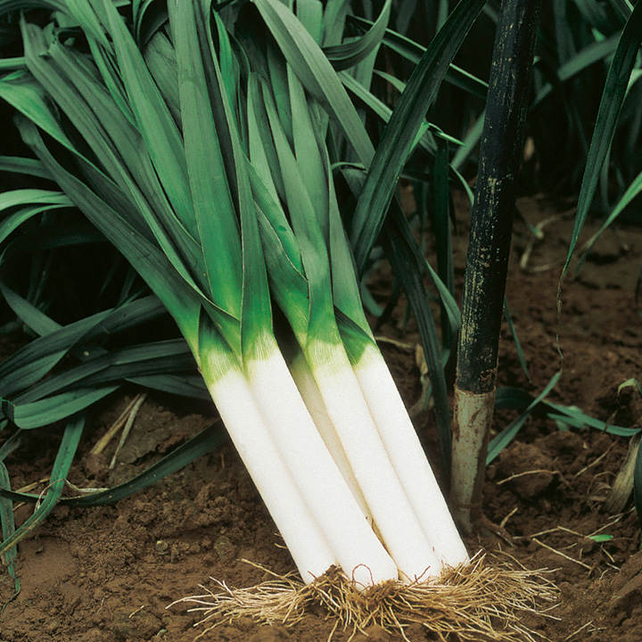 Leek Seeds - Autumn Giant 3 Albana