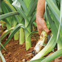Well named, Sprintan certainly gets a move on to be our earliest maturing leek. From spring sowings, it will mature from late August through to Novemb