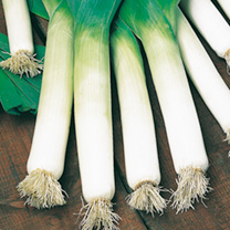 An impressive leek producing flavoursome white stems that are ready to harvest from November to January. Shows good winter hardiness and resistance to
