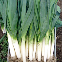 A high quality, heavy cropping leek. The full-flavoured leeks boast long shanks and stand well in the garden without running to seed.