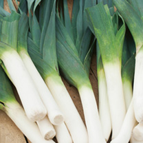 A British bred variety which combines the vigour of an F1 hybrid with extreme cold tolerance to produce superb quality leeks which can withstand cold