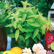 Lemon Verbena Botanical Infusions Plants - Freshman