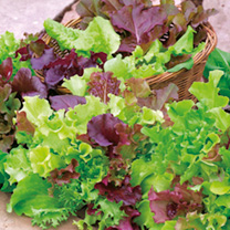 Lettuce Plants - 'All-Sorts' Mix