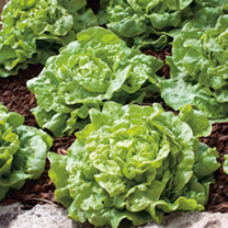 Extremely early maturing, tight, solid, small heads with few outside leaves. Tom says: Quick and easy lettuces are many peoples first veggie crop. Try