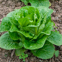 Lettuce Seeds - Romaine Chartwell