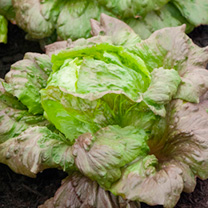An excellent green/dark red iceberg lettuce, whose crisp, sweet, tightly wrapped heads stand well without bolting. RHS Award of Garden Merit winner. T