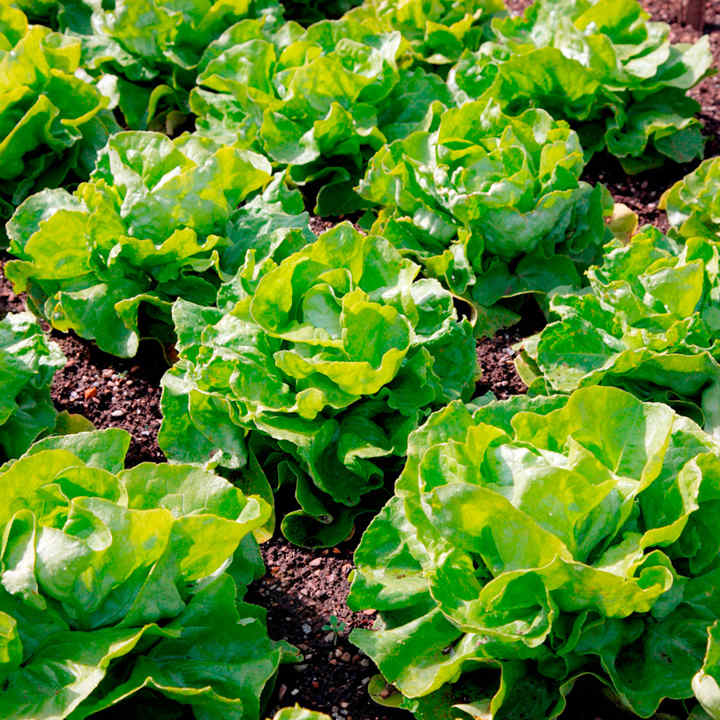 Lettuce Seeds - Unrivalled