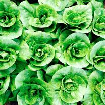 Lettuce Seeds - Little Gem