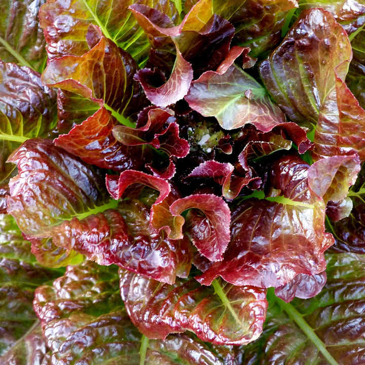 Lettuce Seeds - OutREDgeous