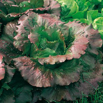 Lettuce (Organic) Seeds - Relay