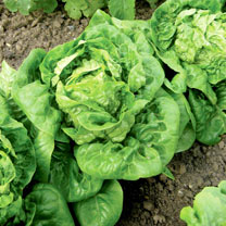 Click to view product details and reviews for Lettuce Organic Seeds Little Gem.