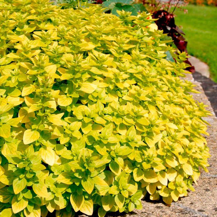 Herb Plant, Marjoram Golden