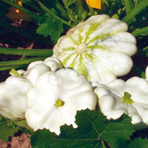 Click to view product details and reviews for Marrow Squash Patty Pan Organic Seeds Custard White.