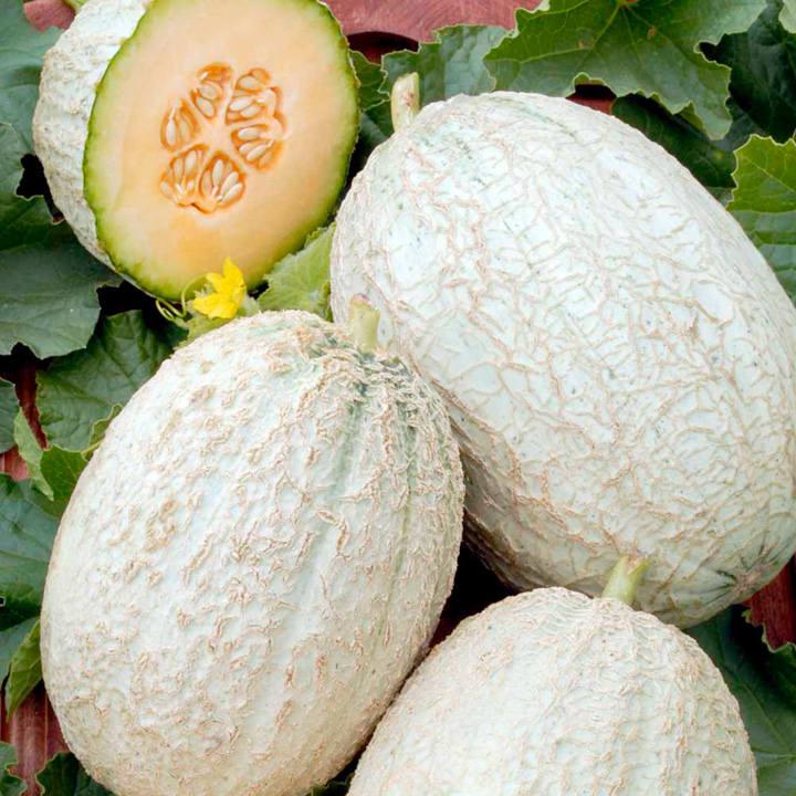 Melon Grafted Plant - F1 Emir