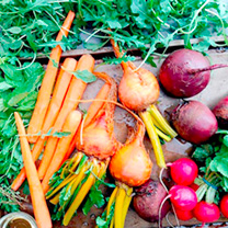 Root Veg Seed - Collection