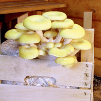 Mushroom Windowsill Kit - Yellow Oyster