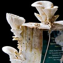 Grey Oyster Mushroom Book Spawn