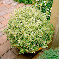 The attractively variegated and aromatic leaves of this herb make it a lovely garden plant that is also of great use in the kitchen. As a herb it has