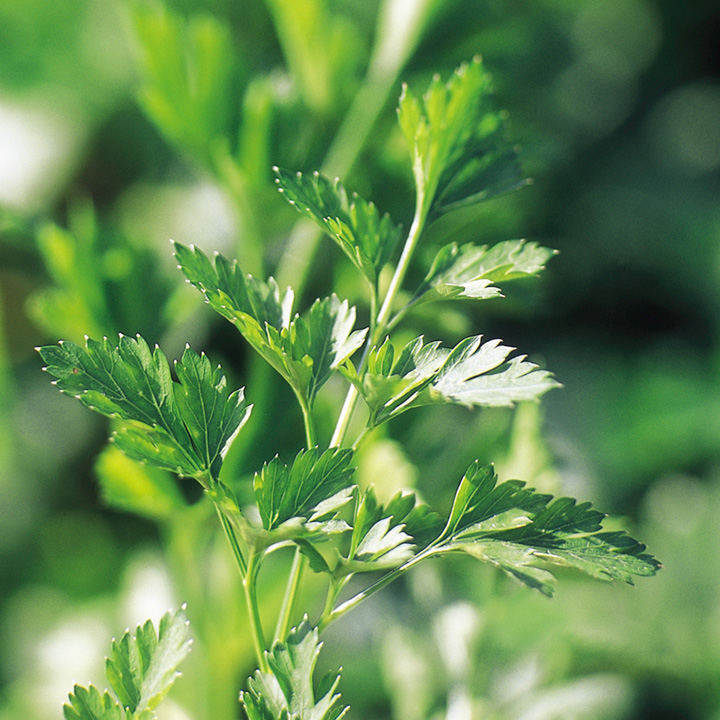 Parsley Seeds - Plain Leaved 2