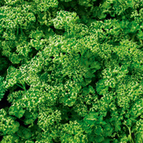 Parsley Seeds - Paravert