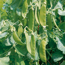 Pea Seeds - Oregon Sugar Pod