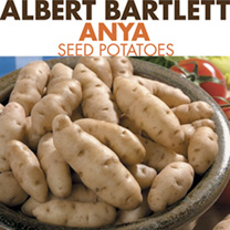 An early variety with a fine nutty taste and long tubers which do not have the awkward branches that can make preparation and storage so difficult. Ea