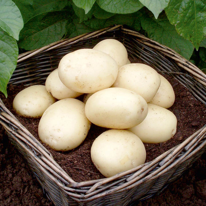 Seed Potatoes - Casablanca 1kg