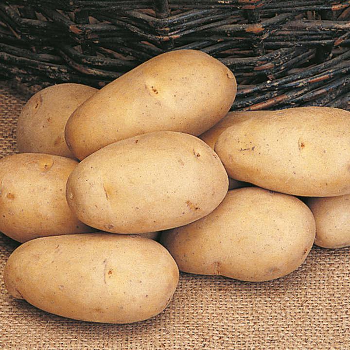 Seed Potatoes - Maris Piper