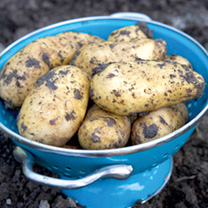Seed Potatoes - Charlotte 1kg (Second Crop)
