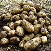 Seed Potatoes - Arran Pilot 5kg