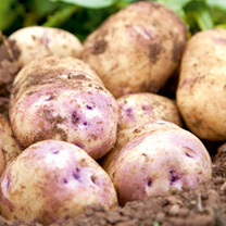 Seed Potatoes - Kestrel 5kg