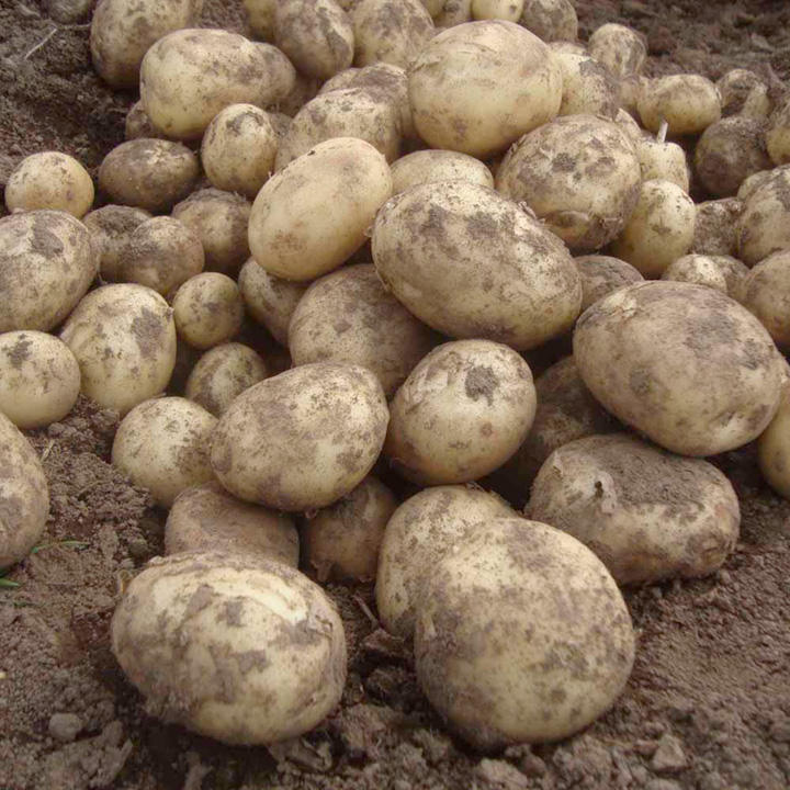 Seed Potatoes - Gemson