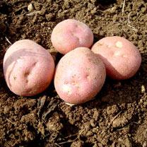 Seed Potatoes - Setanta 1kg
