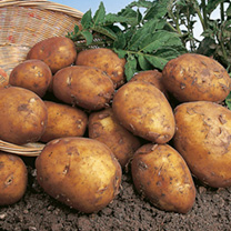 Seed Potatoes - Rocket 1kg